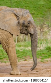 An african elephant walks in profile