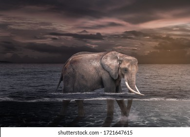 African elephant in the water.