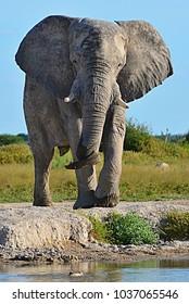 African elephant at waterhole Nxai pan Botswana