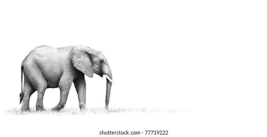 African Elephant with white background