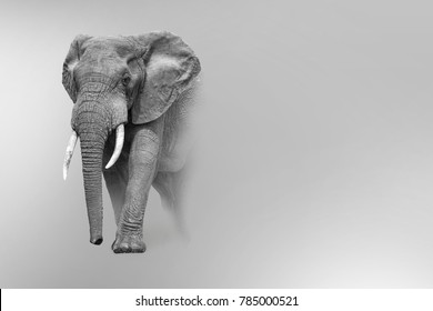 african elephant wildlife art collection  effect of darkness white edition