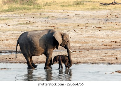 African elephants with baby elephant drinking at waterhole Hwange national park, Matabeleland, North Zimbabwe. True wildlife photography