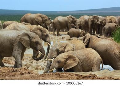 African elephants bathing in a water hole, Addo Elephant National Park near Port Elizabeth, South Africa.