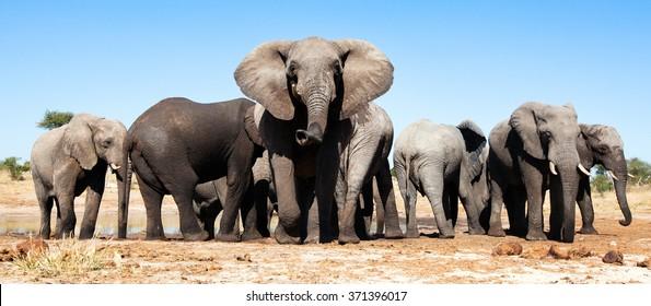 African Elephants in Botswana