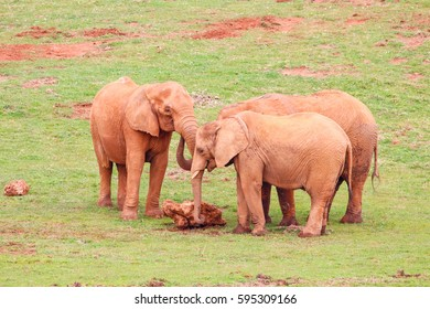 African elephants in Cabarceno nature reserve