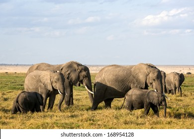 African elephants with calves  grazing in Amboseli Park, Kenya