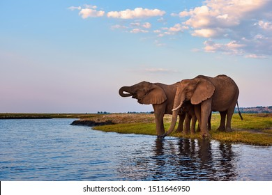 African elephants drinking along the banks of the Chobe River in Botswana.