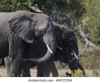 African Elephants Drinking, Kruger National Park, South Africa