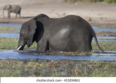 African Elephants feeding and bathing in the Chobe River at Kasane, Botswana