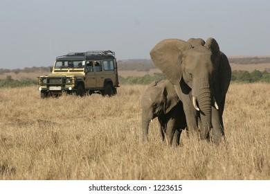african elephants followed by safari vehicle