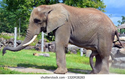 African elephants are elephants of the genus Loxodonta. The genus consists of two extant species: the African bush elephant, L. africana, and the smaller African forest elephant,