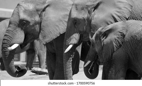 African elephants are elephants of the genus Loxodonta. The genus consists of two extant species: the African bush elephant and the smaller African forest elephant,