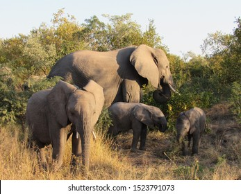 African elephants in Kruger National Park. Baby Elephants. Family