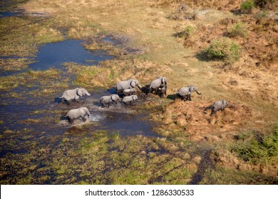 African Elephants (Loxodonta africana), in the freshwater marsh, aerial view, Okavango Delta, Botswana. The Okavango Delta is home to a rich array of wildlife.