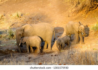 African elephants (Loxodonta africana), Kruger National Park, South Africa.
