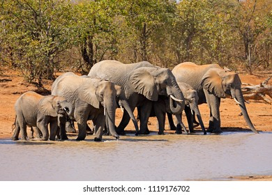 African elephants (Loxodonta africana) at a waterhole, Kruger National Park, South Africa