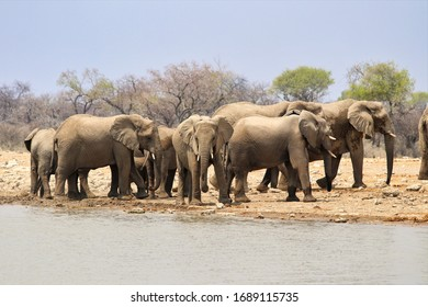 African elephants (Loxodonta africana) at the waterhole - Namibia Africa