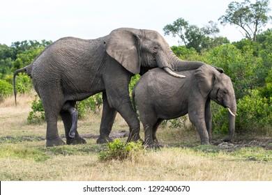 African elephants mating inside masai mara national reserve during a wildlife safari