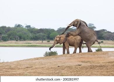 African Elephants mating in Tsavo East National Park in Kenya.
