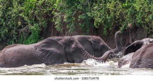 African elephants in the  National Park, Kazinga Channel (Uganda)