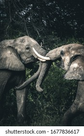 African elephants photographed on safari in Southern Africa