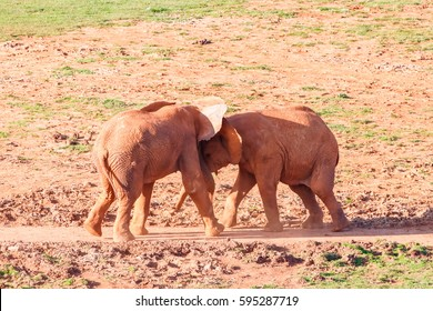 African elephants playing to fight in Cabarceno nature reserve
