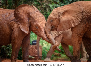 African Elephants playing together in the water and mud to to cool down. Little child elephants in Nairobi Kenya orphanage for elephants playing dirty games in mud puddle