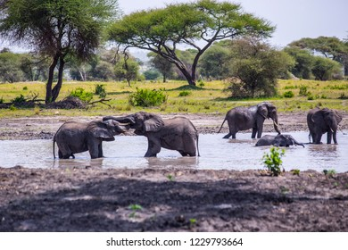 African elephants in the pond at Tarangire National Park, Tanzania