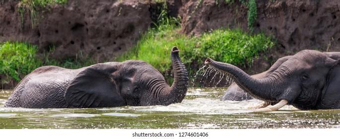 African elephants in the Queen Elizabeth National Park, Kazinga Channel (Uganda)