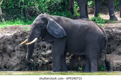 African elephants, Queen Elizabeth National Park, Kazinga Channel (Uganda)