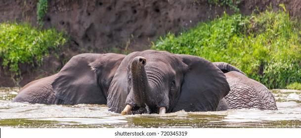 African elephants, Queen Elizabeth National Park, Kazinga Channel (Uganda)