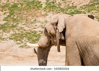 African elephants, single male bull elephant in profile, endangered species at san diego safari park, california