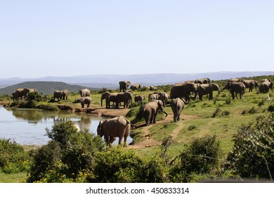 African elephant's splashing,playing and drinking at a waterhole. Taken on safari in Addo elephant national park,eastern cape,south africa