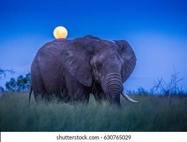 African elephants under full moon at the savannah at Hlane Royal National Park, Swaziland