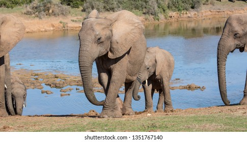 African elephants at a waterhole in South Africa