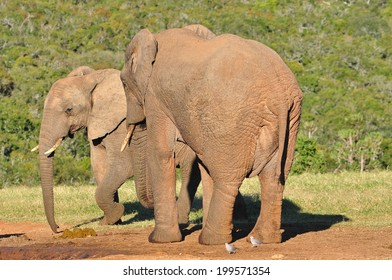 African Elephants at watering hole