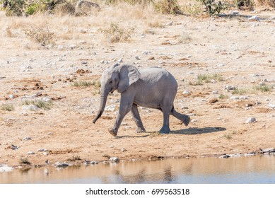 An african elphant calf, Loxodonta africana, running at a waterhole in Northern Namibia