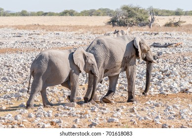 An african elphant cow and calf, Loxodonta africana, walking between calcrete rocks in Northern Namibia