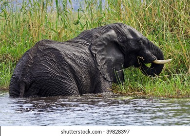 African elphant eating papyrus in Chobe River, Botswana