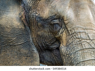 African Elphant face closeup