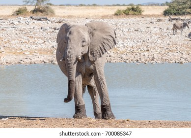 An african elphant, Loxodonta africana, facing the camera at a waterhole in Northern Namibia