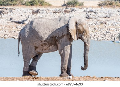 An african elphant, Loxodonta africana, scratching its leg with a foot at a waterhole in Northern Namibia