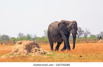 African Elphant with one foot raised as walking across the dry yellow plains in Hwange National Park, Zimbabwe