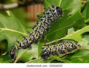 African Emporer Moth caterpillars, Gonimbrasia zambesina - an edible caterpillar from Africa and giant silk moth (sometimes called the mopane worm or mopani) - eating oak leaves