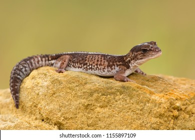 The African fat-tailed gecko is found in West Africa, from Senegal to Cameroon. Their habitat is dry and arid, although they will spend most of their time in a dark, humid hiding place.