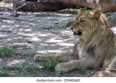 African female lion close up portrait