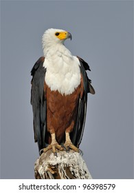 African Fish Eagle 1