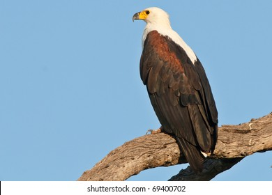 African Fish Eagle, Chobe National Park, Botswana