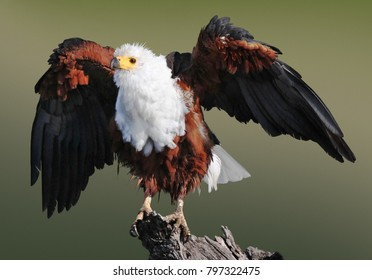 African Fish Eagle drying in the sun after a bath in the Chobe River, Botswana.