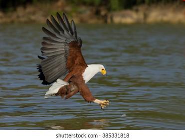 African fish eagle in flight attacking prey, Kenya, Africa